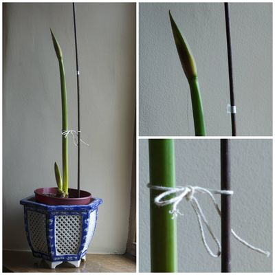 Amaryllis measurement